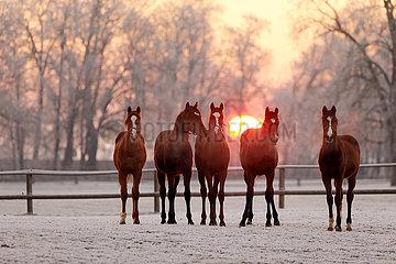 Gestuet Graditz  Pferde im Winter bei Sonnenaufgang auf der Koppel