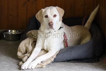 Gestuet Roettgen  Hund liegt in seinem Koerbchen