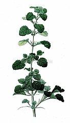 Andorn Marrubium vulgare