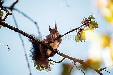 Eichhoernchen im Kirschbaum 1