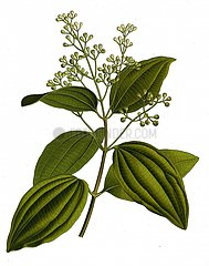 Ceylon Zimt cinnamomum vera Echter Zimt