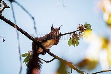 Eichhoernchen im Kirschbaum 2