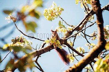 Eichhoernchen im Kirschbaum 3