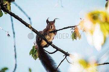 Eichhoernchen im Kirschbaum 4