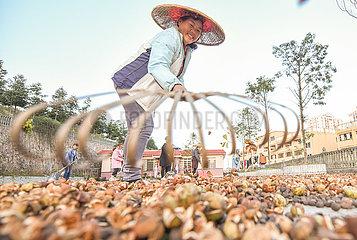 # CHINA-GUIZHOU-tongren-OIL-TEA CAMELLIA FRUITS-LESE (CN)