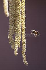 Graditz  Deutschland  Honigbiene im Anflug auf eine Haselnussbluete