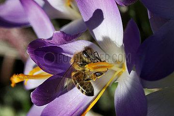 Neuenhagen  Deutschland  Honigbiene sammelt Nektar aus einer violetten Krokusbluete