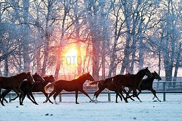 Gestuet Graditz  Pferde im Winter bei Sonnenaufgang im Galopp auf der Koppel