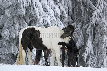Muenchen  Pferde stehen im Winter auf der Koppel im Schnee