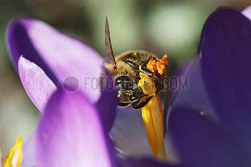 Neuenhagen  Deutschland  Biene sammelt Nektar aus einer violetten Krokusbluete
