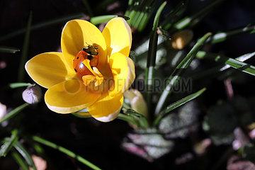 Neuenhagen  Deutschland  Marienkaefer sitzt in einer gelben Krokusbluete