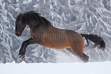 Muenchen  Pferd buckelt im Winter auf der Koppel im Schnee