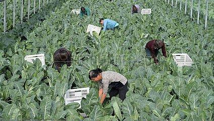 CHINA-GUIZHOU-Yuping-Landwirtschaft (CN)
