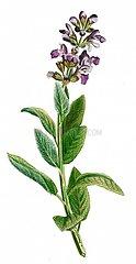 Echter salbei Salvia officinalis