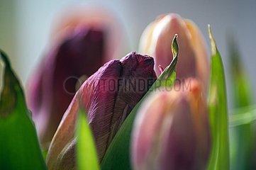 Tulpen Macro