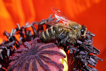 Berlin  Deutschland  Honigbiene sammelt Nektar in einer Mohnbluete