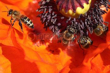 Berlin  Deutschland  Honigbienen sammeln Nektar in einer Mohnbluete