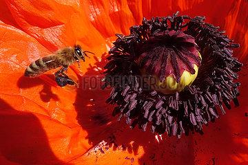Berlin  Deutschland  Honigbiene im Anflug auf den Stempel einer Mohnbluete