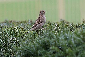 Hoppegarten  Deutschland  weiblicher Sperling sitzt auf einer Hecke