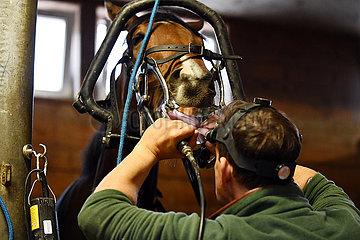 Hannover  Pferd wird an den Zaehnen behandelt