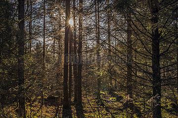 Sonne im Wald  November  Bayern