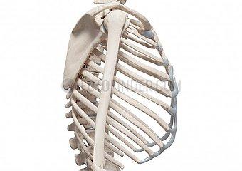 Skelett Brust - lateral