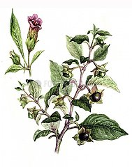 Heilkraeuter Tollkirsche Belladonna Giftpflanze