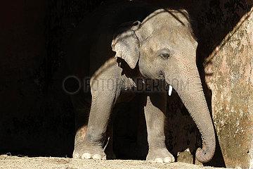 PAKISTAN-ISLAMABAD-asiatischer Elefant-KAAVAN