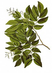 Copaiba copaifera officinalis