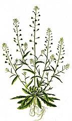 Hirtentaeschel Capsella bursa pastoris