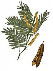 Gerber Akazie Acacia Senegalia catechu