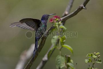 BRAZIL-BRASILIA-HUMMINGBIRD