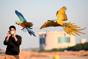 KUWAIT-Jahra GOVERNORATE-PARROT TRAINING-SHOW