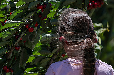 AUSTRALIEN-NEW SOUTH WALES-YOUNG-CHERRY AUSTRALIA-NEW SOUTH WALES-YOUNG-CHERRY
