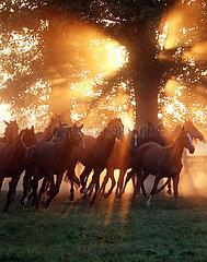 Gestuet Graditz  Pferde im Galopp auf einer Weide am Morgen