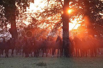 Pferde im Morgengrauen auf der Weide im Gegenlicht