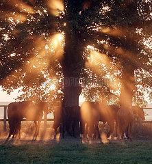 Gestuet Graditz  Pferde am Morgen auf einer Weide