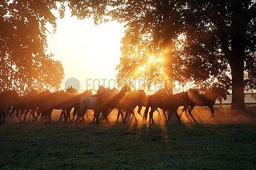 Gestuet Graditz  Pferde im Trab auf einer Weide am Morgen