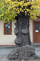 Dresden  Deutschland  Wucherungen am Stamm eines Baumes ergeben ein Gesicht