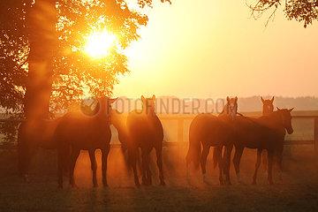 Gestuet Graditz  Pferde auf einer Weide im Gegenlicht der aufgehenden Sonne