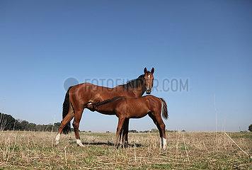 Gestuet Graditz  Fohlen trinkt auf der Weide bei seiner Mutter