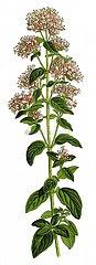 Gemeiner Dost origanum vulgare