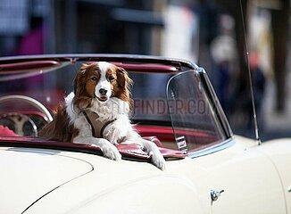 Hund in einem Oldtimer