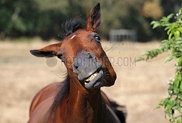 Bubenheim  Pferd auf einer Weide schuettelt wegen vieler Fliegen den Kopf