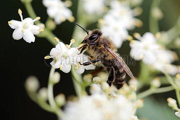 Berlin  Deutschland  Honigbiene sammelt Nektar aus einer Holunderbluete