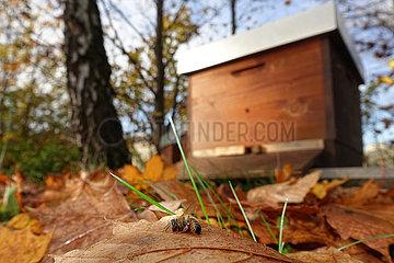 Berlin  Deutschland  tote Biene liegt vor einem Bienenstock auf Herbstlaub