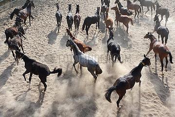 Gestuet Graditz  Pferde wirbeln in einem Sandpaddock Staub auf