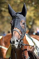 Iffezheim  Deutschland  Pferd traegt eine Ohrenschutzkappe