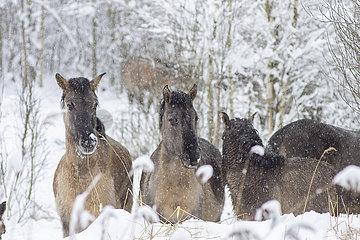 BELARUS-Belovezhskaya Pushcha-SNOW LANDSCHAFT