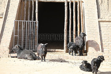 CHINA-Qingyang-goat-Breeding (CN)